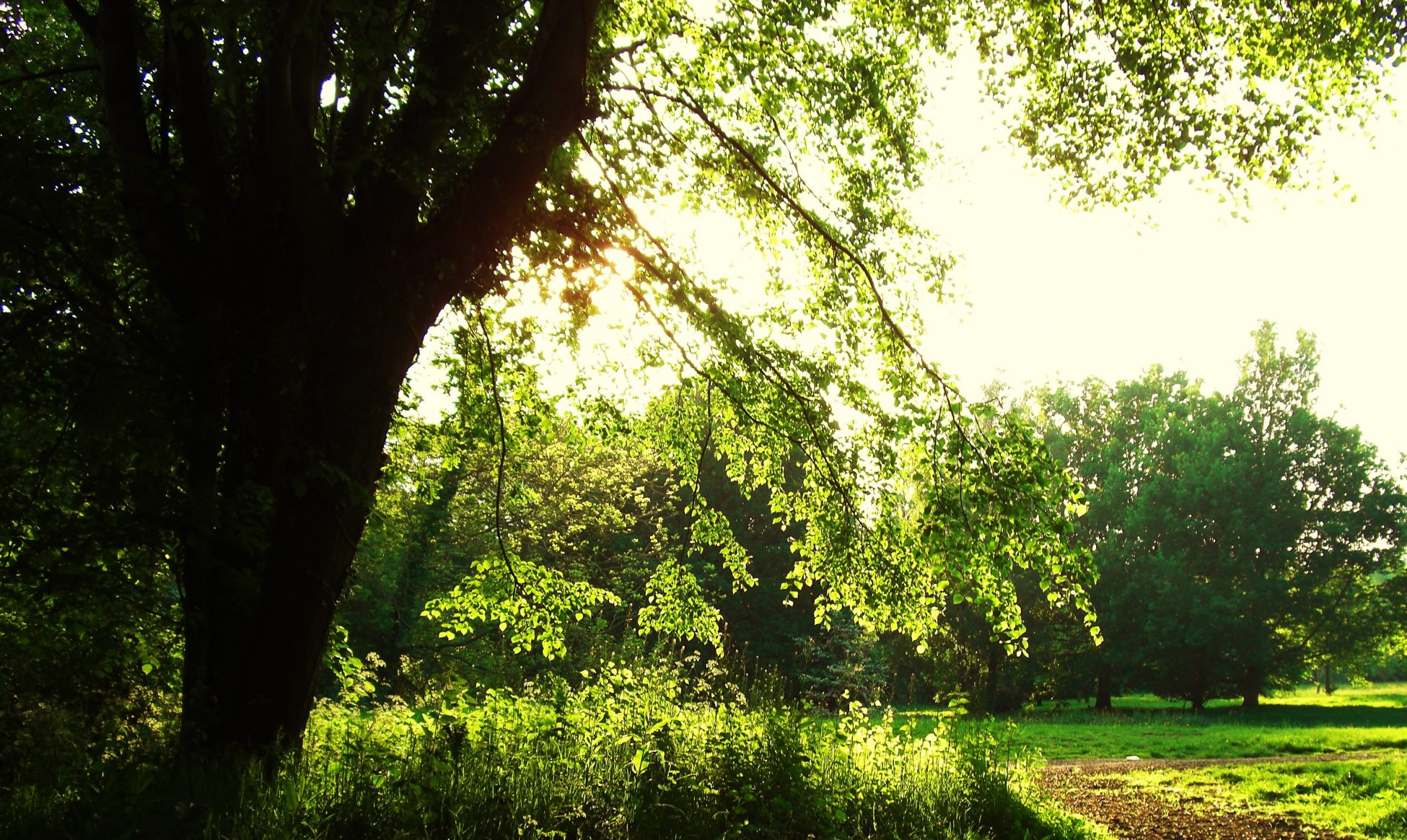Photo of a meadow with a tree with low branches. The sun is shining through the branches