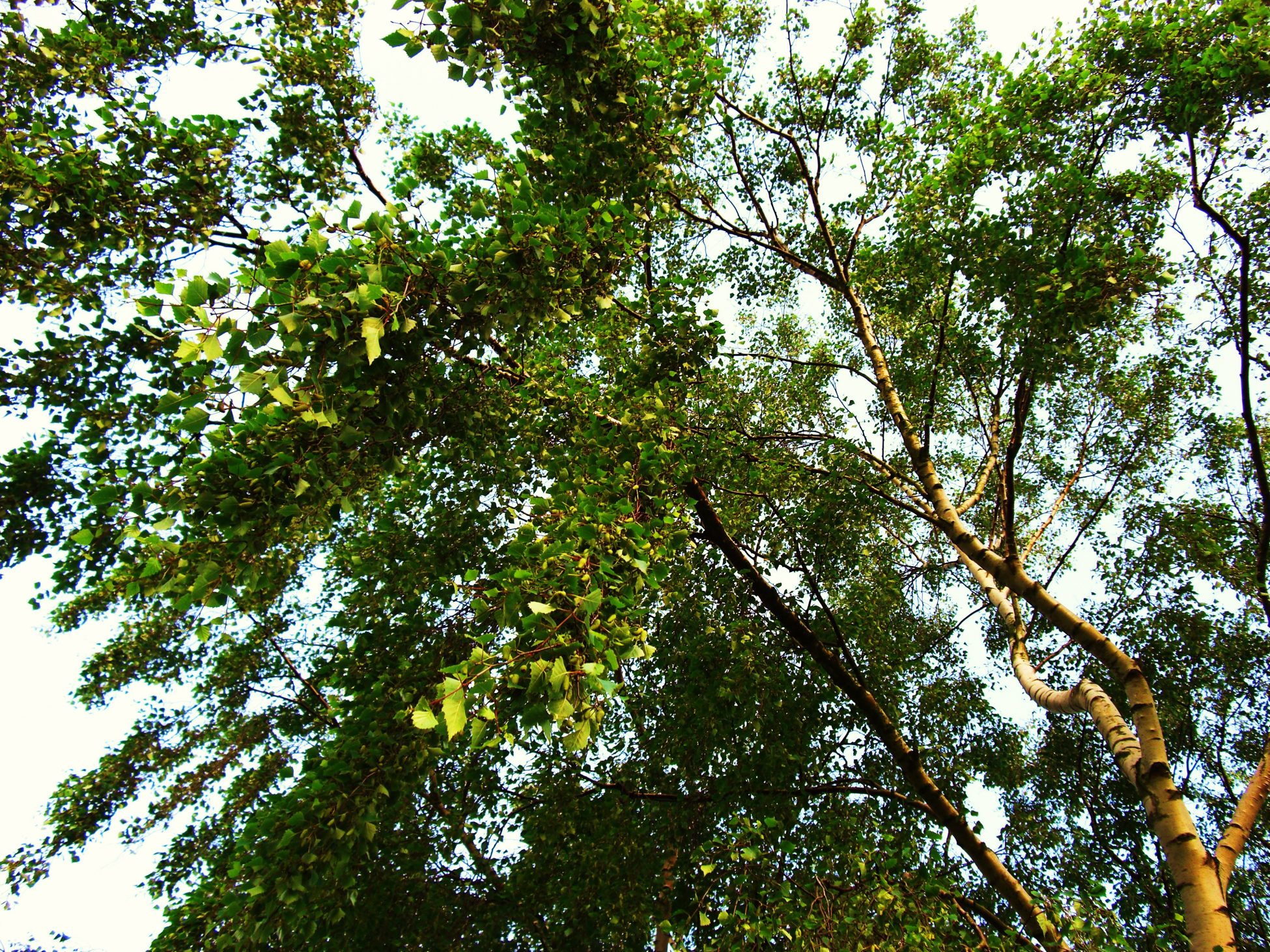 Photo taken from below of tree branches and green leaves looking up at the sky