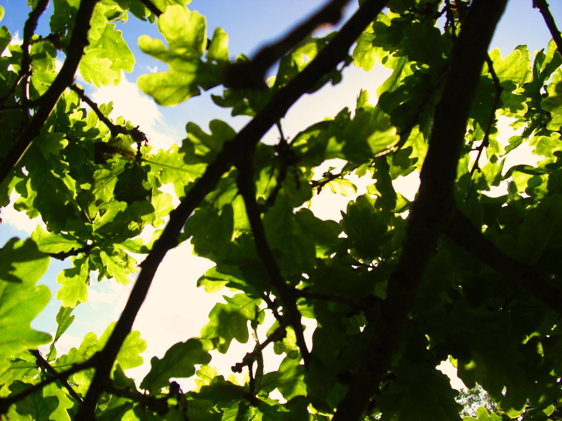Close up photo with green leaves and tree branches, the sky is blue behind.