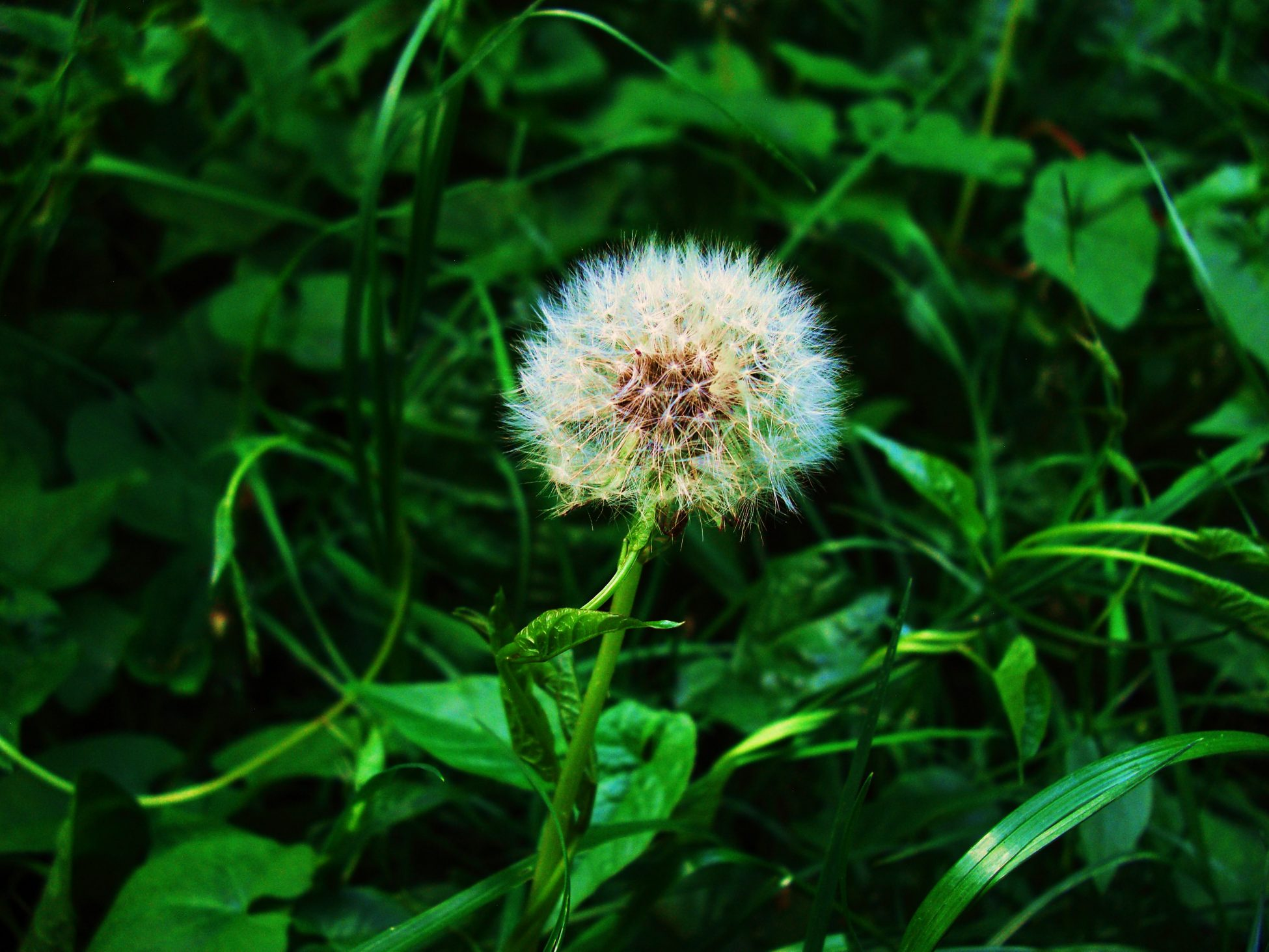 Photo of a dandelion seed head with green leaves in the background
